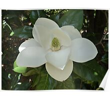 Southern Magnolia Flower Poster