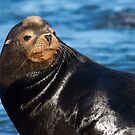 Sea Lion Posing by Randall Ingalls
