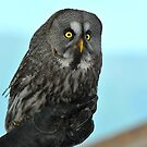 Great Grey Owl by neil harrison