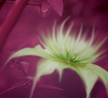 Clematis by RosiLorz