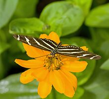 Zebra longwing butterfly by Thad Zajdowicz