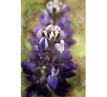 Arctic Lupin Photographic Print