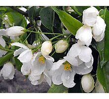 White Apple Blossoms Photographic Print