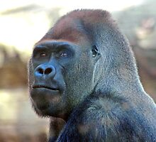 Gorilla at Barcelona Zoo by Jenny1611