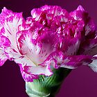 carnation by wendywoo1972