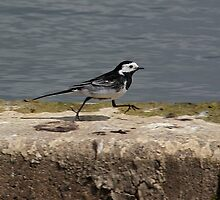 The Sprinting Wagtail by Mark Hughes