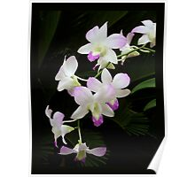 Vircus Orchid Poster