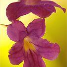 Cape Primrose Streptocarpus by Mike  Waldron
