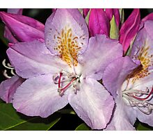 Rhodie Blossoms Photographic Print