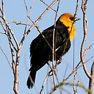 Yellow Headed Blackbird (With Video) by Larry Trupp