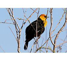 Yellow Headed Blackbird (With Video) Photographic Print