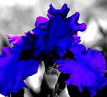 Bearded Iris in Contrasting Beauty by Christine Grothe