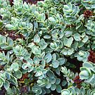 Sedum by rocamiadesign