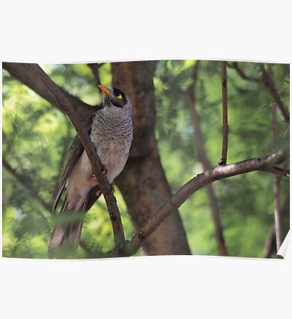 Noisy Miner Bird Poster