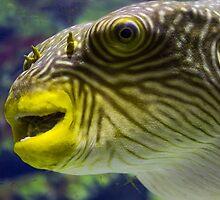 Pufferfish close up view in an aquarium by patrascano