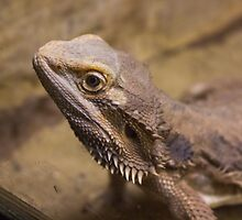 Dragon like lizzard by patrascano