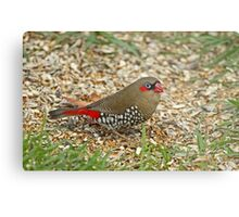 Red-Eared Fire-Tail Metal Print