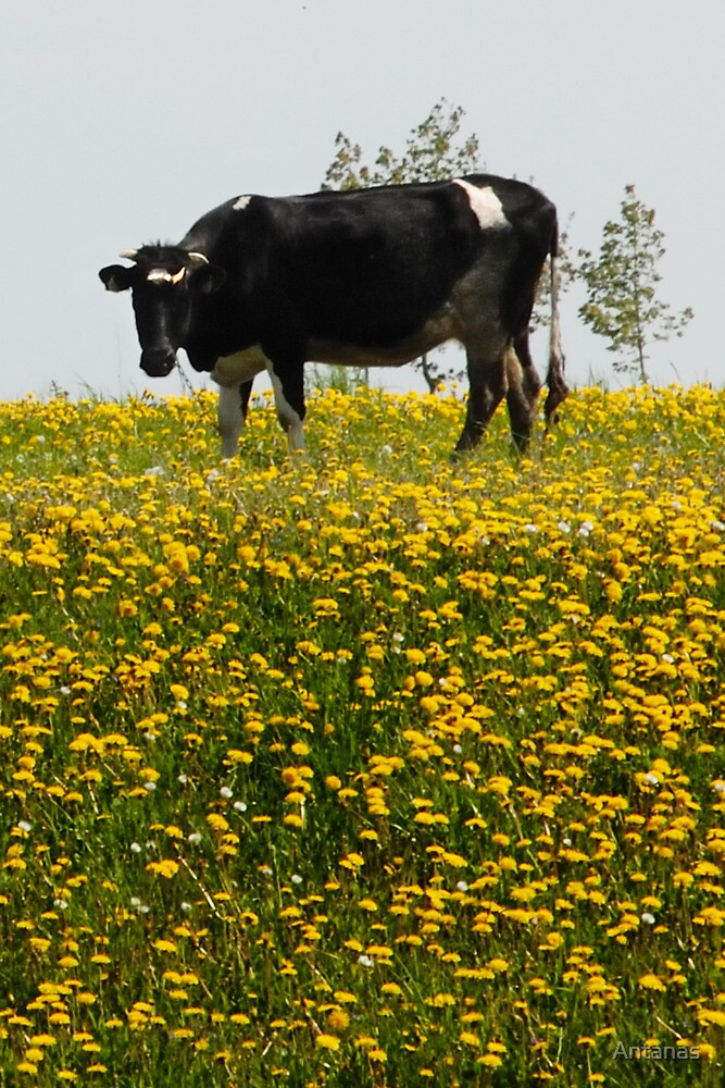 Cow in dandelions grassland by Antanas