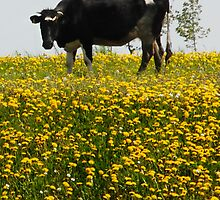 Cow in dandelions grassland by Antanas