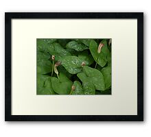 Arisarum vulgare in shade, Halls Gap Framed Print