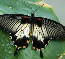 Swallowtail Butterfly by Jenny1611