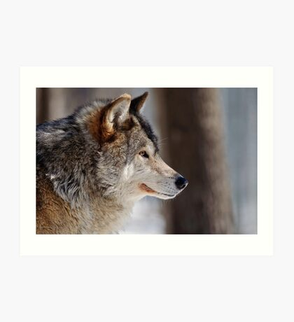 Gray Wolf (male) Canis Lupus Art Print
