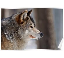 Gray Wolf (male) Canis Lupus Poster