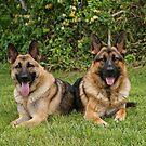 German Shepherd Dogs by Sandy Keeton