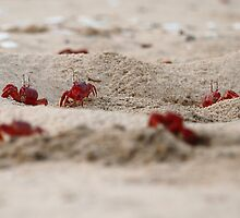 Red Crabs on the beach. by debjyotinayak