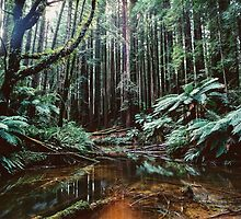 Redwoods by Jack Chauvel