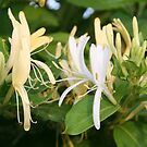 Closeup shot of Lonicera European Honeysuckle Flower by taiche