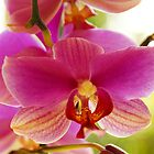 Orchid Glory by KAGPhotography