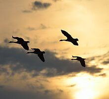 Geese in the Sunset by Mully410