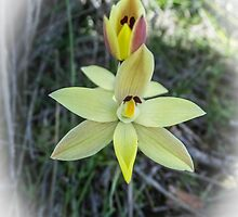 Lemon Scented Sun Orchid by Julia Harwood