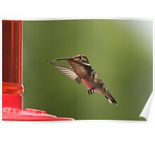 Hungry hummer Poster