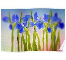 Louisiana Irises  Poster