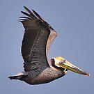 Brown Pelican, Galveston, TX by Chris Ferrell