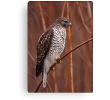 Broad-winged Hawk Canvas Print