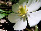 Mayapple Flower by Marcia Rubin