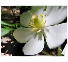 Mayapple Flower Poster