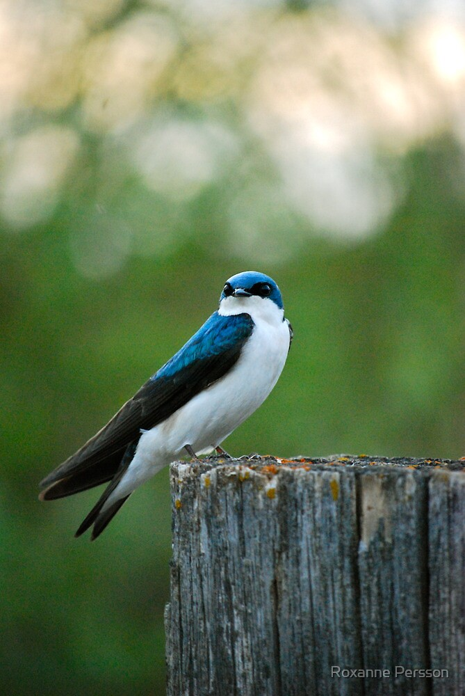 Tree Swallow by Roxanne Persson