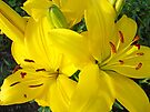 Yellow Lilies Flowers art prints Lily Baslee Troutman by BasleeArtPrints