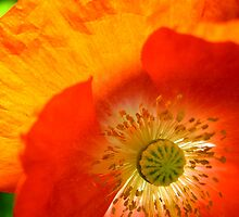 Poppy Close Up by Janice Dunbar