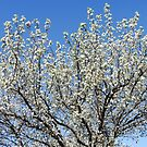 Ornamental Pear Tree in Bloom by Marilyn Harris