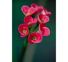 Crown of Thorns Flowers Photographic Print