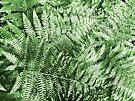 Ferns by Marcia Rubin