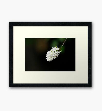 White Lilac Framed Print