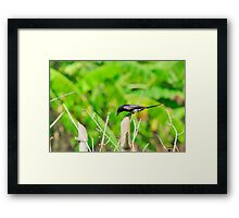 Black Drongo with it's catch Framed Print