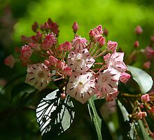 Mountain Laurel Spring by Eileen McVey