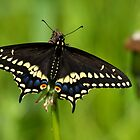 Black Swallowtail Butterfly by withacanon